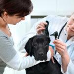 Black Lab at vet