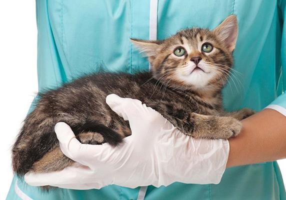 Vet Kitten