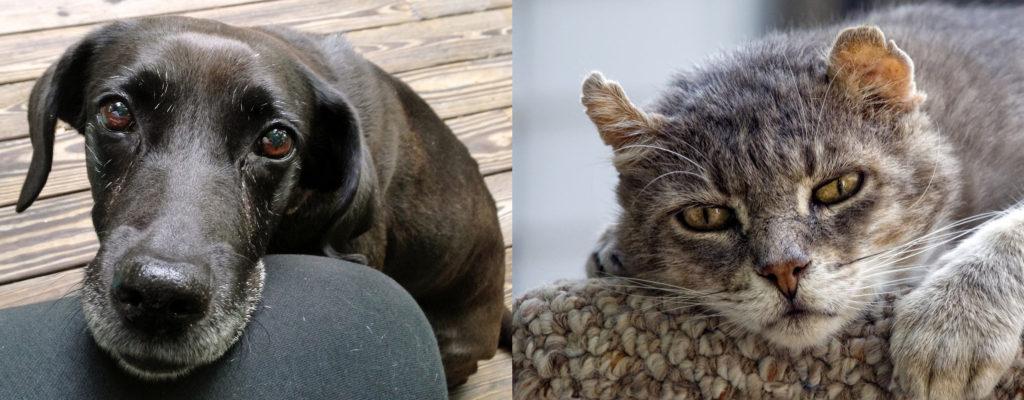 Older Dog Cat dietary phosphorus