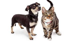 Cat-small-dog