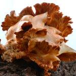 Oyster Mushroom 1